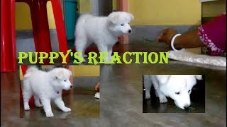 Reaction of our Cute Puppy on Chili, Lemon & Etc