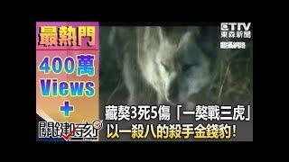 藏獒3死5傷 「一獒戰三虎」下「以一殺八」的殺手金錢豹!?1021219-7