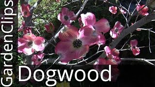 Flowering Dogwood - Cornus florida - How to grow Dogwood Tree