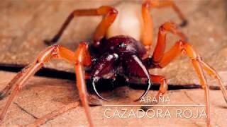 Insectos: Araña cazadora roja versus bicho bola