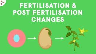 Fertilisation and Post-fertilisation Changes in the Flower | Don't Memorise