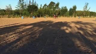 Equídeo Equino Quarto de Milha Registrado Potro Castanha Trabalho - e-rural Imagens