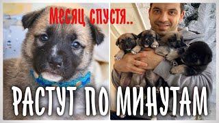 7 щенков спустя месяц. Пристраиваем по всему миру.