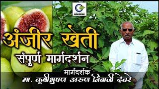 Fig Farming In India   अंजीर की खेती की पूरी जानकारी   Anjeer Ki Kheti