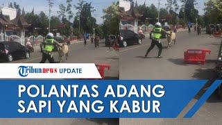 Viral Video Polantas Bukittinggi Adang Sapi yang Kabur ke Jalan Raya, Menghindar sebelum Diseruduk