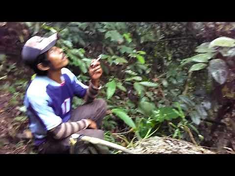 Madu lebah liar hutan part 1