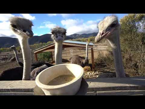 Ostrichland USA - Things To Do In Solvang California