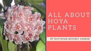 All About Hoya Plants