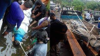 Buaya Pemangsa Manusia di Ranowangko Akhirnya Dievakuasi, Butuh 20 Orang untuk Mengangkat