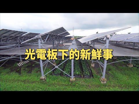 我們的島 第931集【農電共生系列1】光電板下的新鮮事