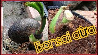 Bonsai Dừa | Cắt Đọt Cây Dừa Cao Để Làm Dừa Bonsai | Bước Đầu Làm Dừa Kiểng
