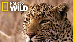 The Leopard is a Pouncer, Not a Chaser   Nat Geo Wild