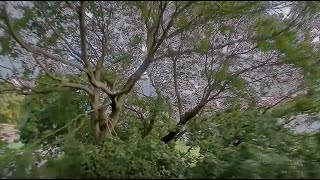Tree Surfing (again) with the iFlight Alpha a85 FPV drone