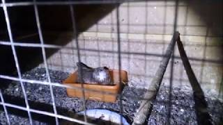 01.06.18 Совка СПЛЮШКА на гнезде:) Как разводить в ДОМАШНИХ условиях:)