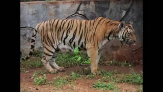 Tiger Temple tigers: RIP Sairung