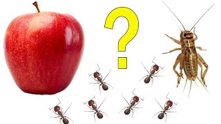 Ants - protein or fruit - time lapse