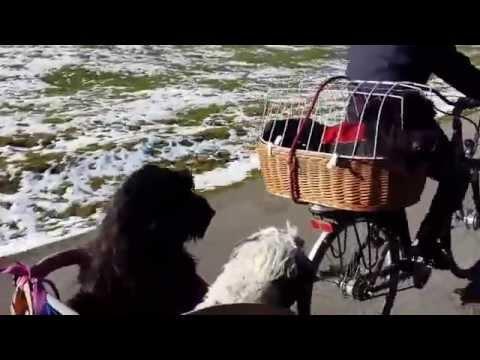 3 Hunde fahren Fahrrad