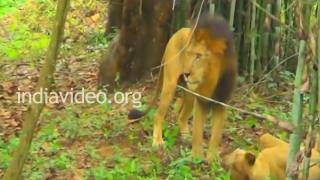 Lions at Bannerghatta National Park, Bangalore
