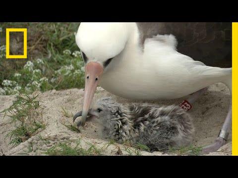 Amazing Bird: Age 65, May Have Had 40 Chicks, Traveled Three Million Miles | National Geographic thumbnail