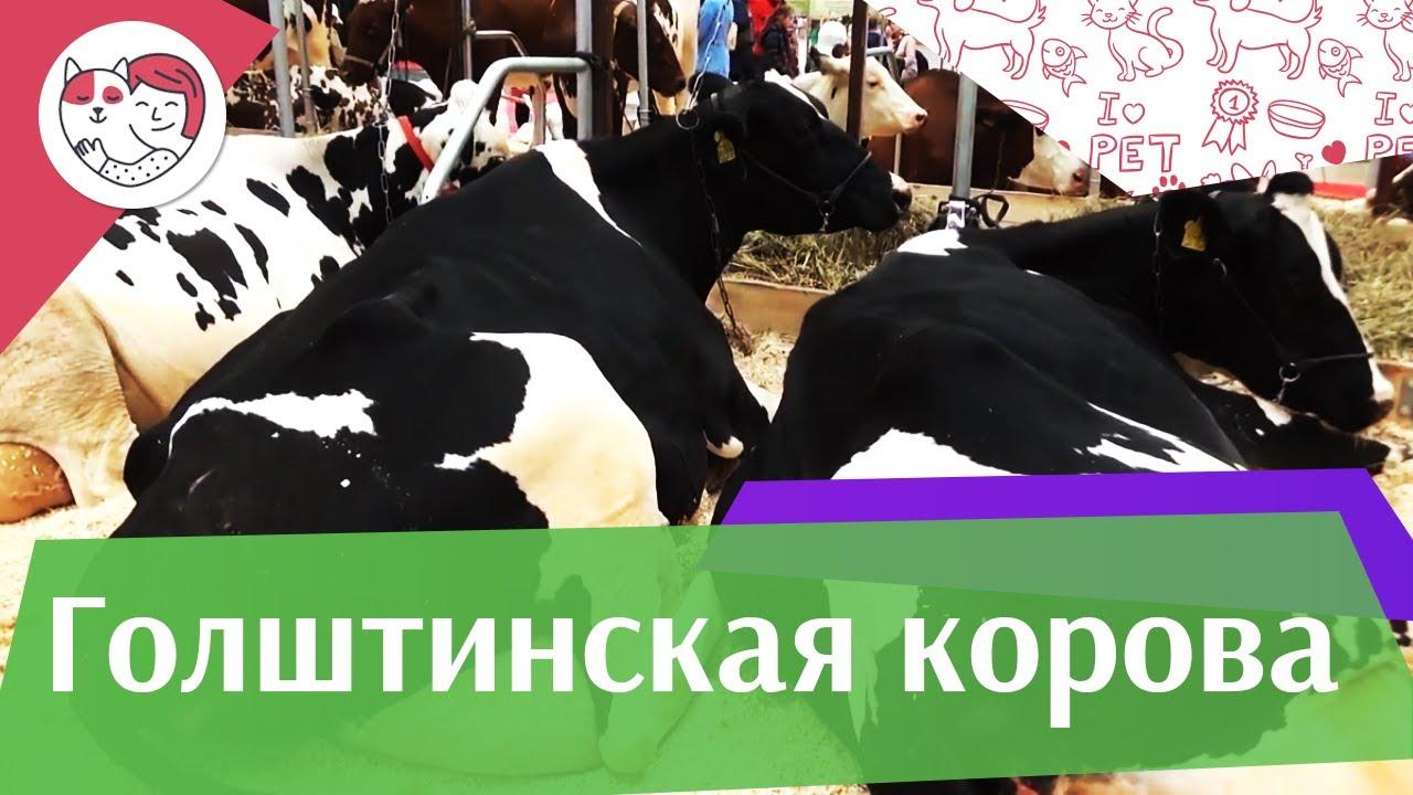 Голштинская корова на ilikepet. Особенности породы, уход