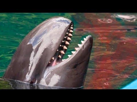 Por Qué Los Tiburones Le Temen a Los Delfines