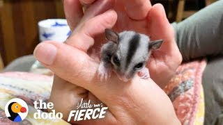 Baby Sugar Glider Figures Out How To Glide   The Dodo Little But Fierce