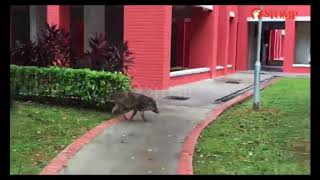 Lone wild boar regularly sighted in Choa Chu Kang HDB estate Acres believes people are feeding it