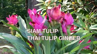 How To Grow Curcuma Ginger Plant