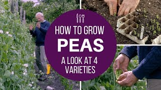 Grow peas for pods: small, large or mangetout, from plants of varied size, with supports