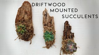 Driftwood Mounted Succulents DIY