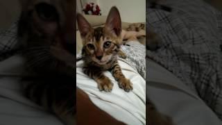 Mèo Bengal con kêu thật đáng yêu