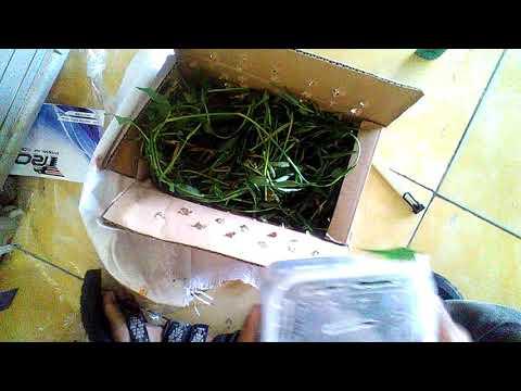 UNBOXING Varanus Nebulosus || With Kang Aam