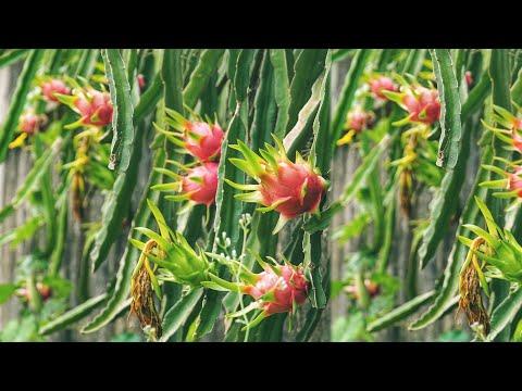 नेपालमै पहिलो पटक फल्यो यस्तो अचम्मको महँगो फल - फलेको ठाउमै पुगेर खिचिएको भिडियो - Dragon Fruit