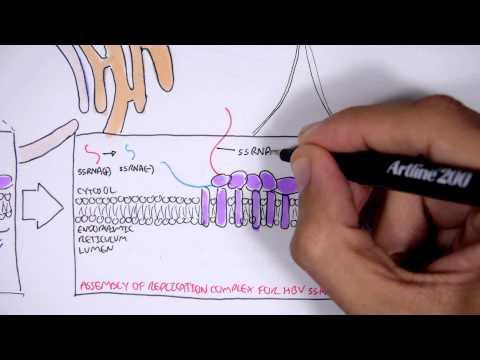 Wirus WZW C - mikrobiologia