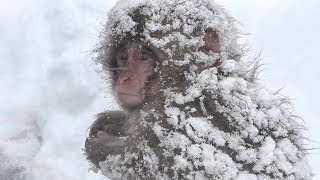 """【SNOW MONKEY】ニホンザル ☆Great Natures 3 ☆ This is the """"Snow Monkey""""  地獄谷野猿公苑"""