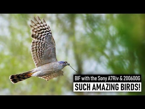 wildlife photography amazing sparrowhawk in flight by jeroen kloppenburg