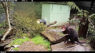 The Remarkable Tasmanian Devil - Mother and Baby Devils