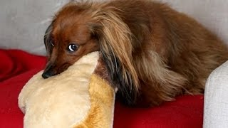 Hiding Doxies New Toy, Can She Find It? | Standard Black Red Long Haired Dachshund