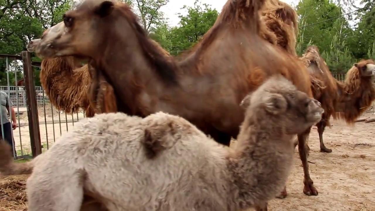 В Харьковском зоопарке пополнение в верблюжьей семье
