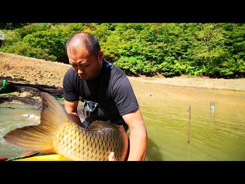 Giant koi fish   Amazing jumbo koi carp   Tancho Showa mudpond harvest
