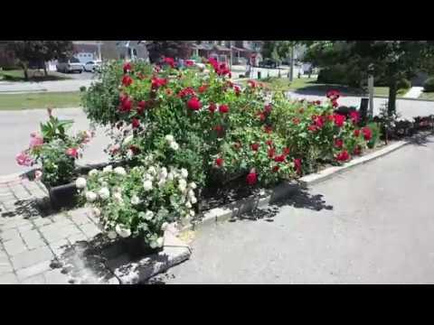 Roses Morden Blush