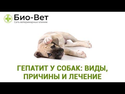 Гепатит у собак: виды, возможные причины и лечение. Ветеринарная клиника Био-Вет.