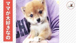 3ヶ月の柴犬ちゃん🐕 まだまだママにベッタリな姿が可愛い💕【PECO TV】   Kholo.pk
