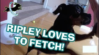 Ripley Loves to Fetch