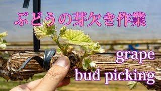 芽欠き作業 Grape Cultivation (bud Picking)