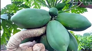 How To Grow Papaya In Pots - Complete Growing Guide Easily