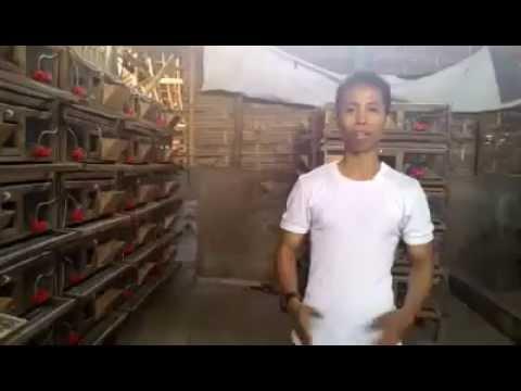 Video Cara ternak puyuh petelur yang baik