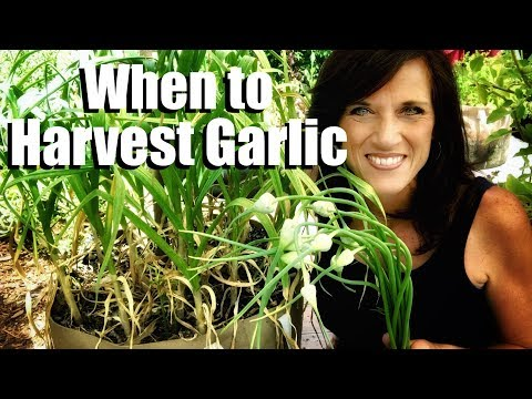 , title : 'How to Know When Garlic is Ready to Harvest & Harvesting Garlic Scapes to Grow Larger Cloves