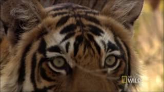 Especial De 1K De Inscritos   A Vida Secreta Dos Predadores   Nat Geo Wild