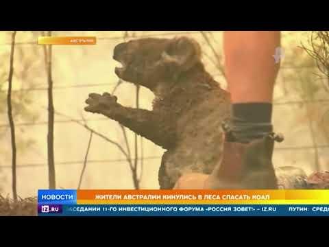 Жители Австралии бросились в горящие леса спасать коал видео